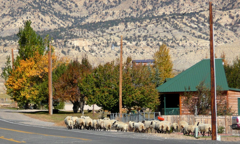Sheep Roaming through Tropic Utah